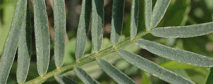 Astragalus-Benefits-–-It%u2019s-All-About-Immunity